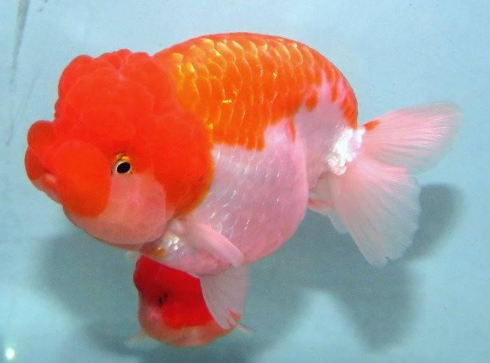 Золотая рыбка ранчу бело-оранжевого цвета фото