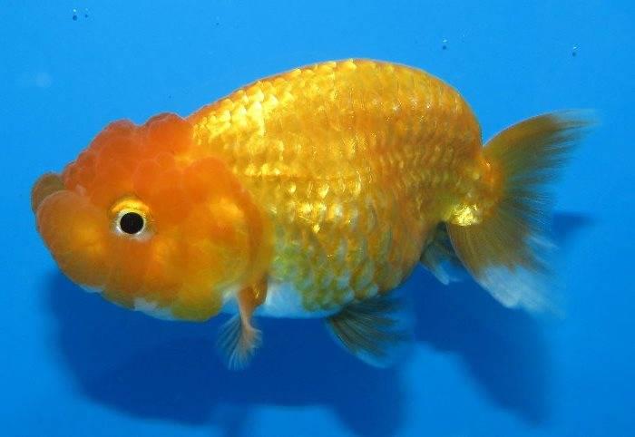 Золотая рыбка ранчу фото (анг. Ranchu goldfish)