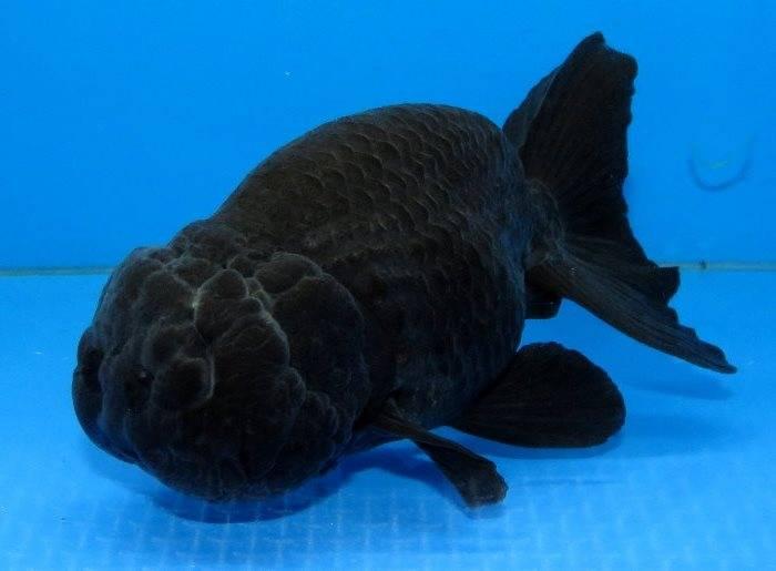 Золотая рыбка ранчу черного цвета фото