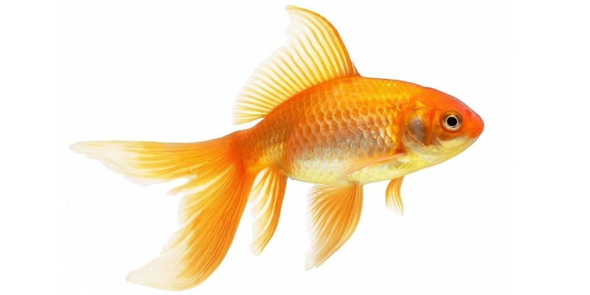Реферат на тему золотая рыбка 7296
