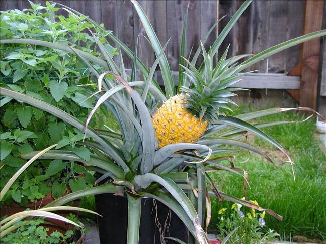 Как вырастить ананас дома фото