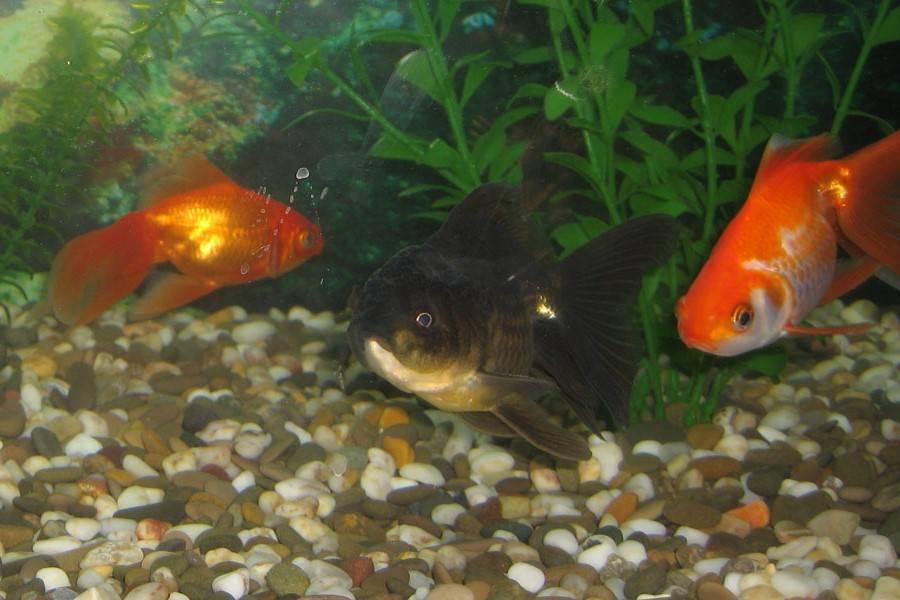 Как размножаются золотые рыбки в аквариуме фото