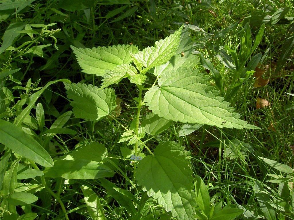 Крапива киевская фото (лат. Urtica kioviensis)