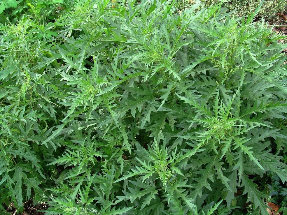 Крапива коноплевая фото (лат. Urtica cannabina)