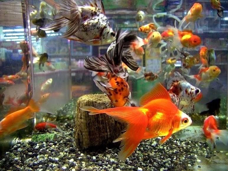 Красивые золотые рыбки в аквариуме фото