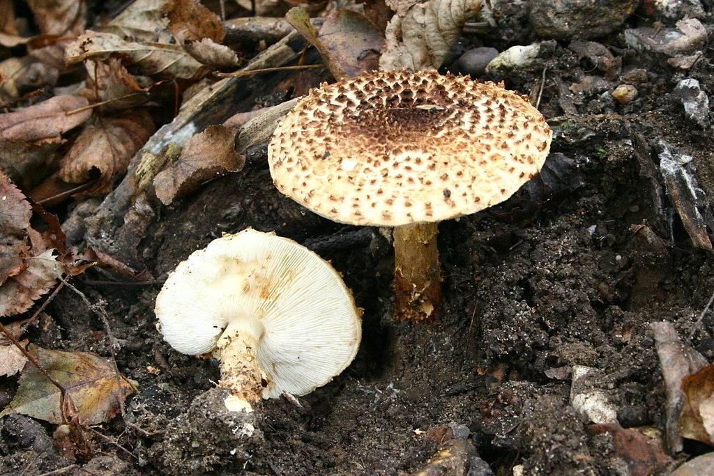 Лепиота шероховатая (зонтик острочешуйчатый) (лат. Lepiota aspera, Agaricus asper, Lepiota acutesquamosa)
