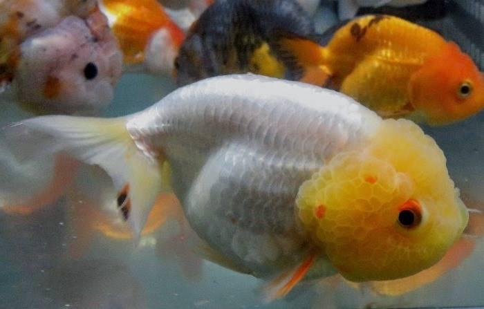 Львиноголовка белая с желтой головой фото