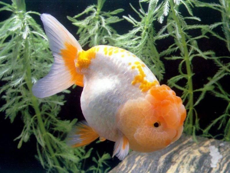 Львиноголовка белая с оранжевой головой фото