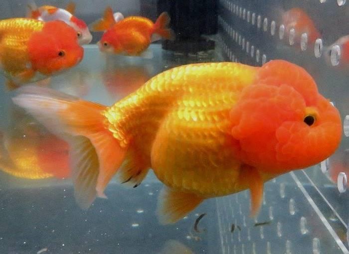 Львиноголовка фото (анг. Lionhead goldfish)