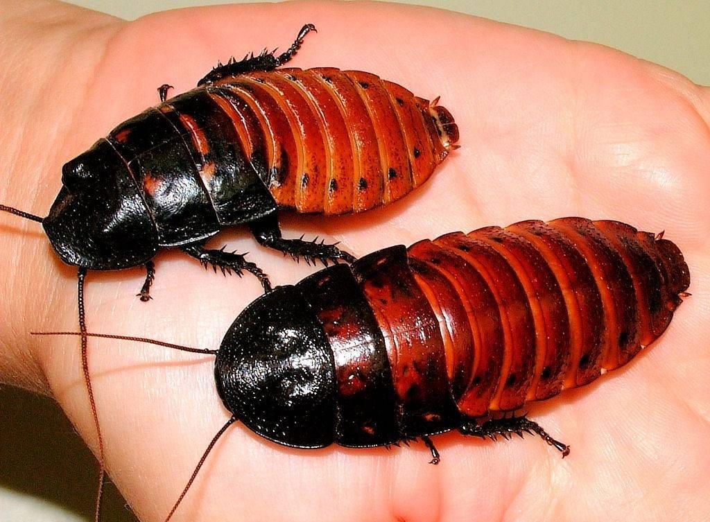 Мадагаскарский шипящий таракан фото (лат. Gromphadorrhina portentosa)