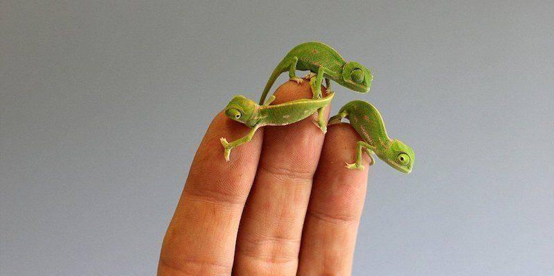 Маленькие хамелеоны фото