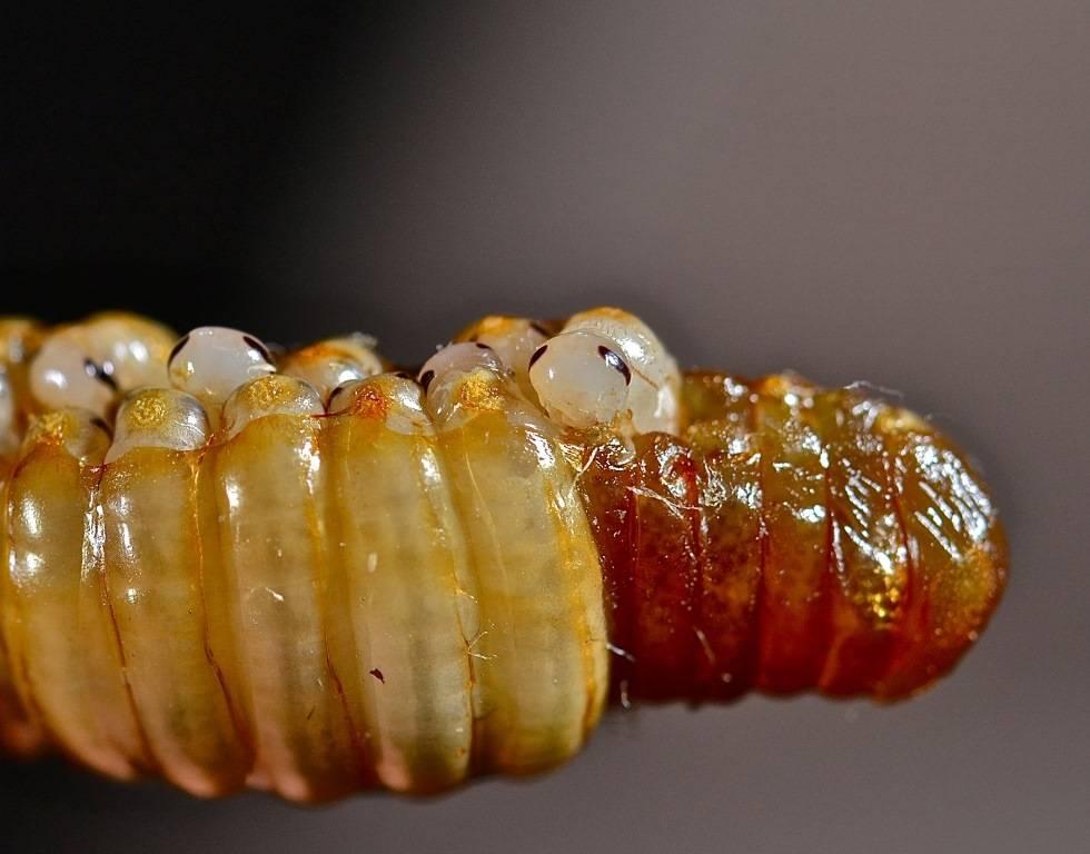 Нимфы таракана появляются из оотеки