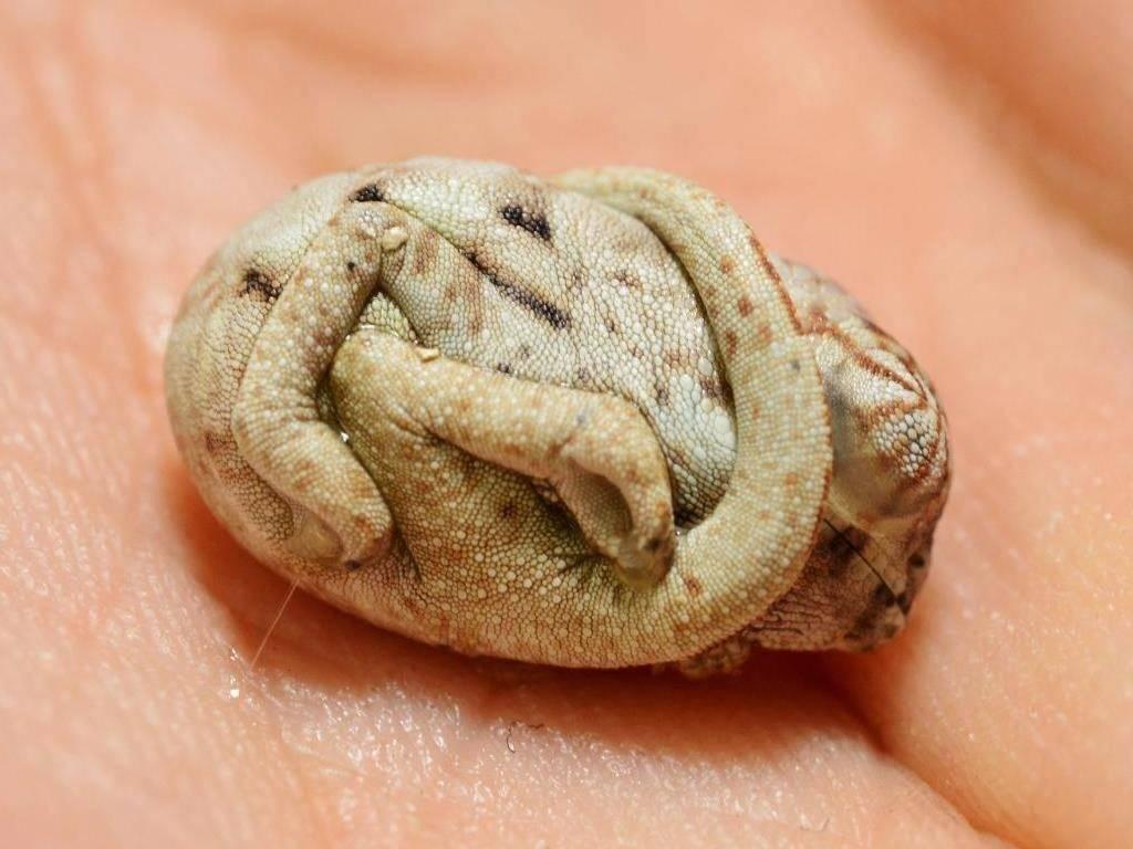 Новорожденный хамелеон фото