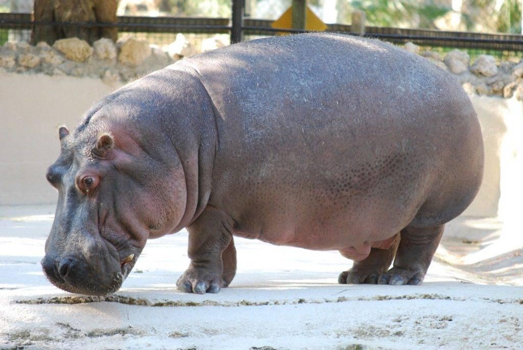 Обыкновенный бегемот (гиппопотам) фото (лат. Hippopotamus amphibius)