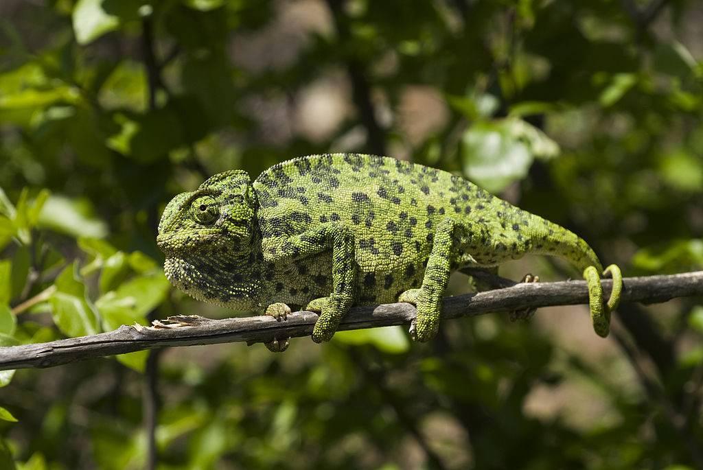 Обыкновенный хамелеон (лат. Chamaeleo chamaeleon)
