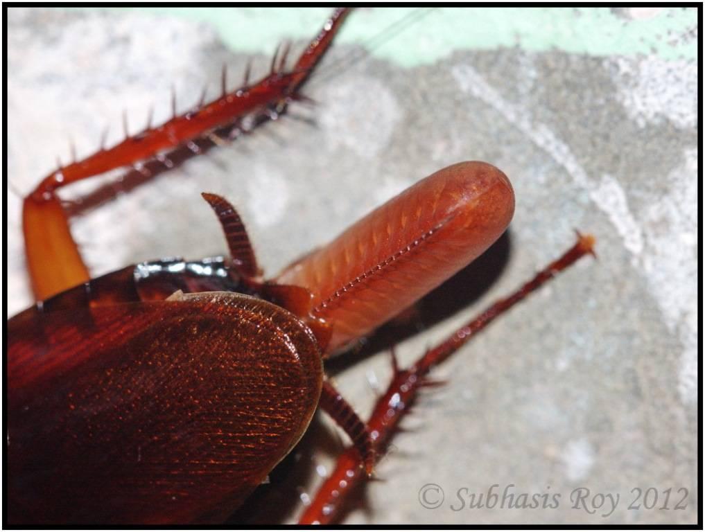 Оотека таракана фото