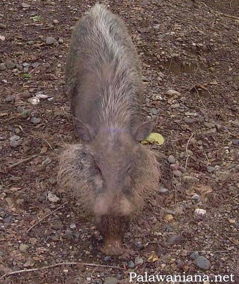 Палаванская бородатая свинья