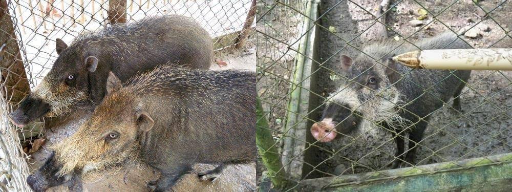 Палаванские бородатые свиньи в зоопарке