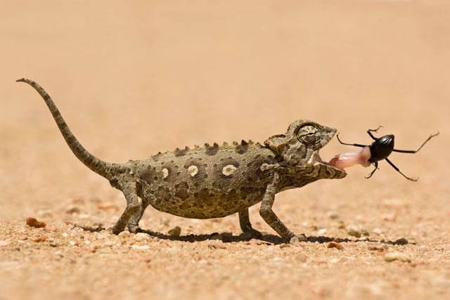 Пища пустынного хамелеона