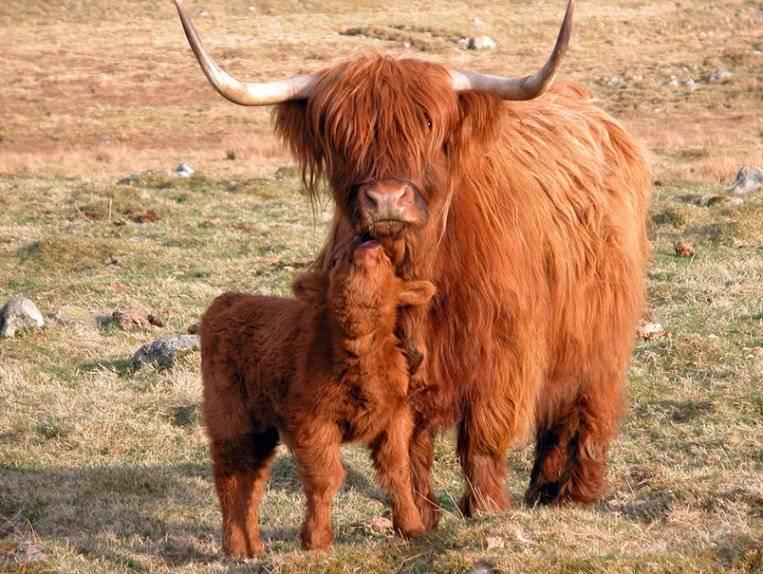 Порода коровы Хайленд фото