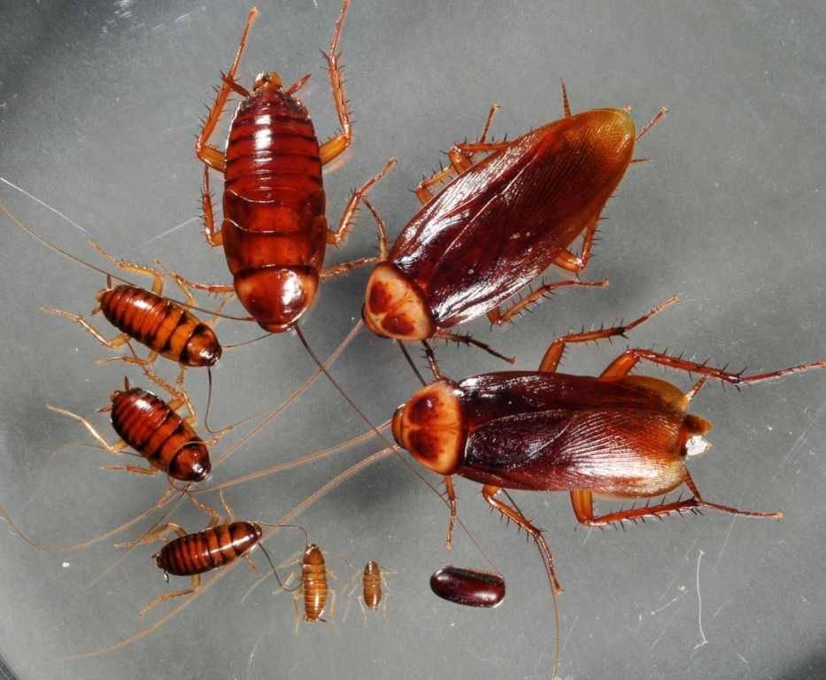 Развитие таракана фото