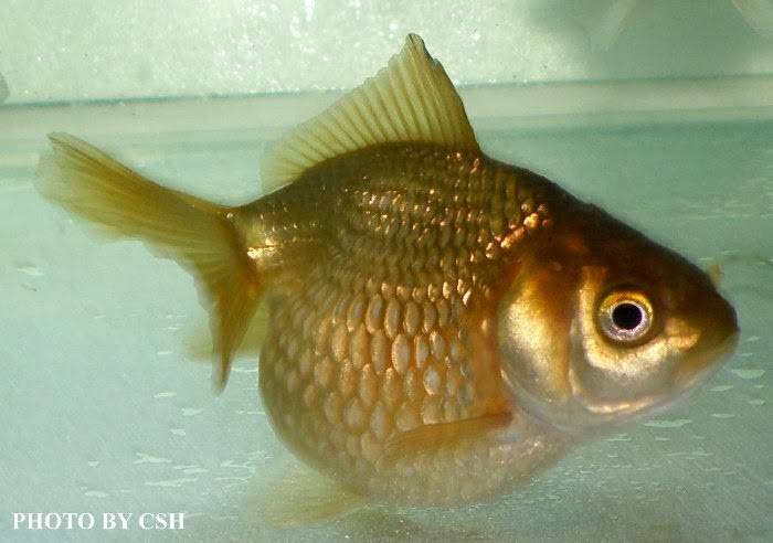 Рыбка жемчужинка золотистая фото