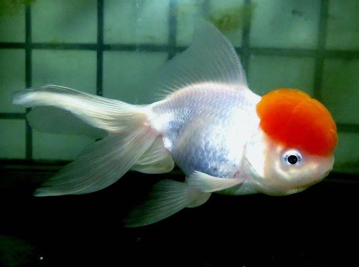 Рыбка оранда белая с красной шапочкой фото