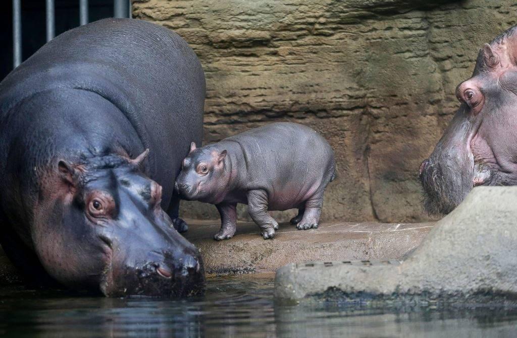 Самка бегемота и маленький бегемотик в зоопарке фото