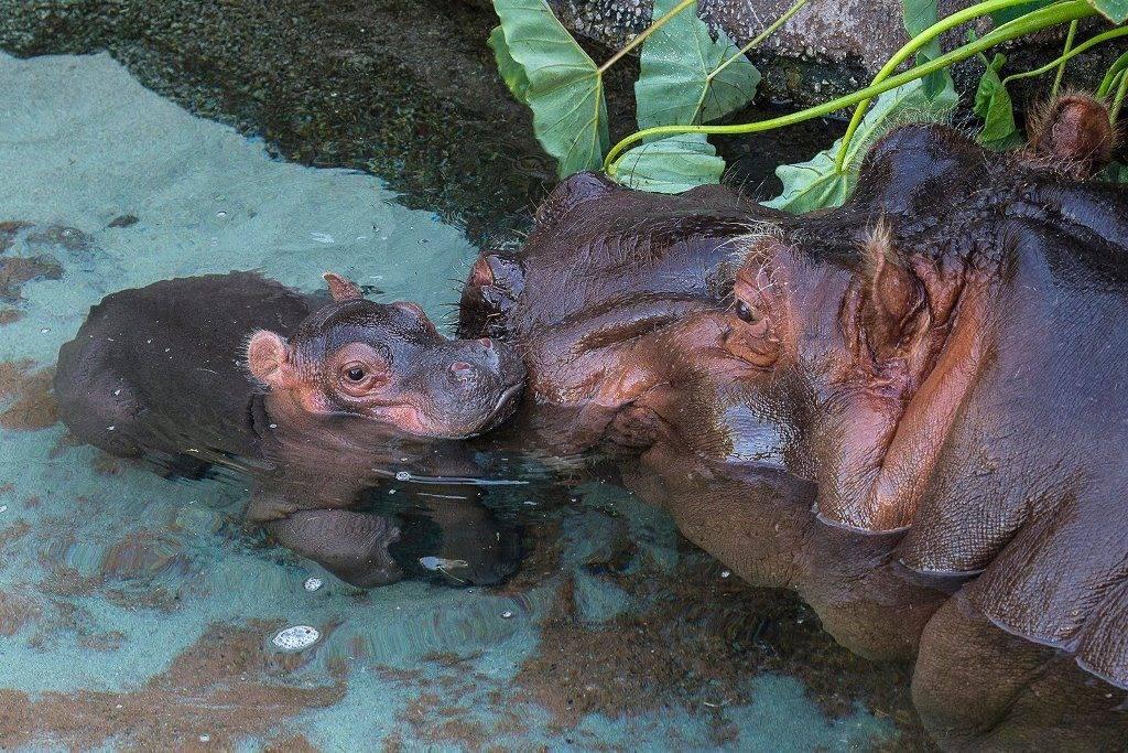 Самка гиппопотама и детеныш в зоопарке Сан Диего фото