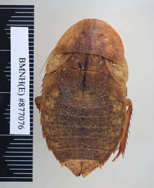 Саравакский таракан (лат. Rhicnoda natatrix)
