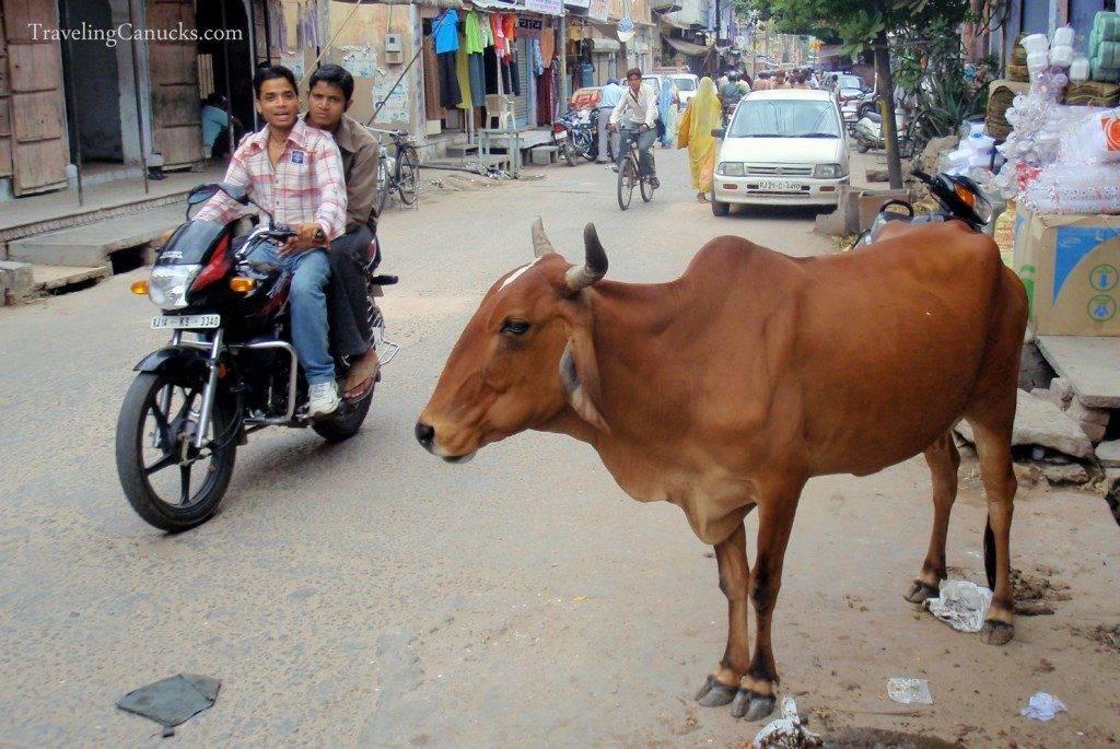 Священная корова в Индии