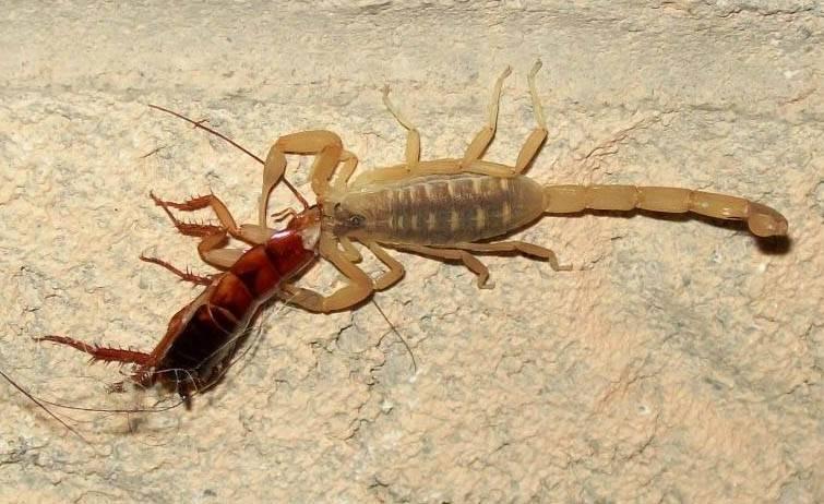 Скорпион ест таракана
