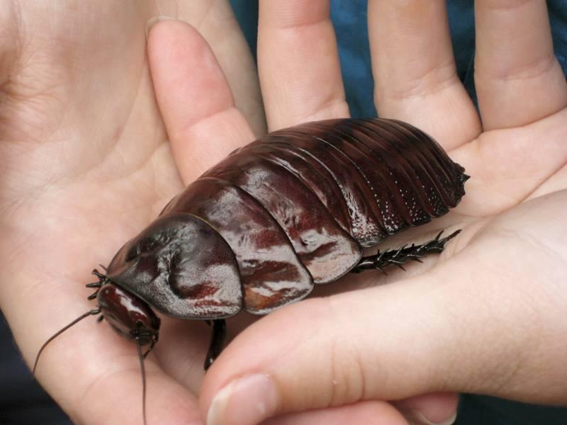 Таракан-носорог (гигантский роющий таракан) (лат. Macropanesthia rhinoceros)