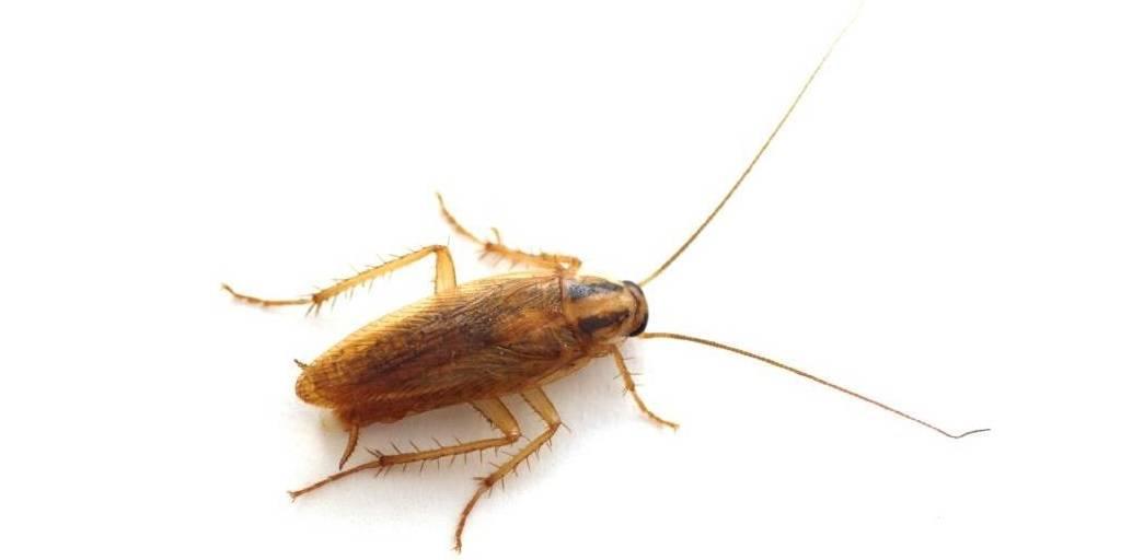 Жук похожий на таракана в квартире