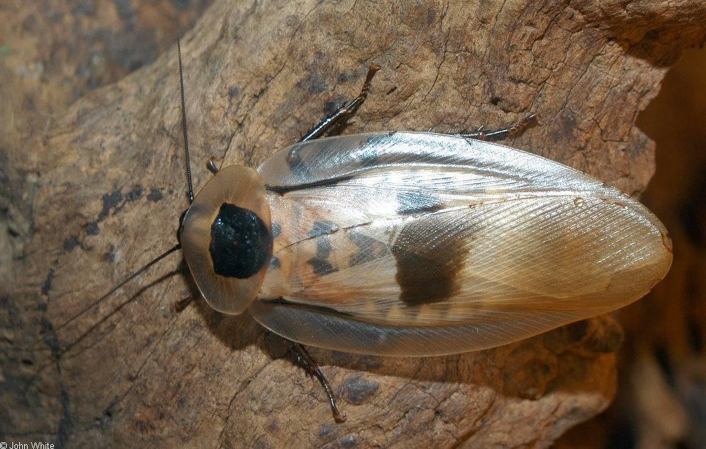 Таракан Blaberus giganteus фото