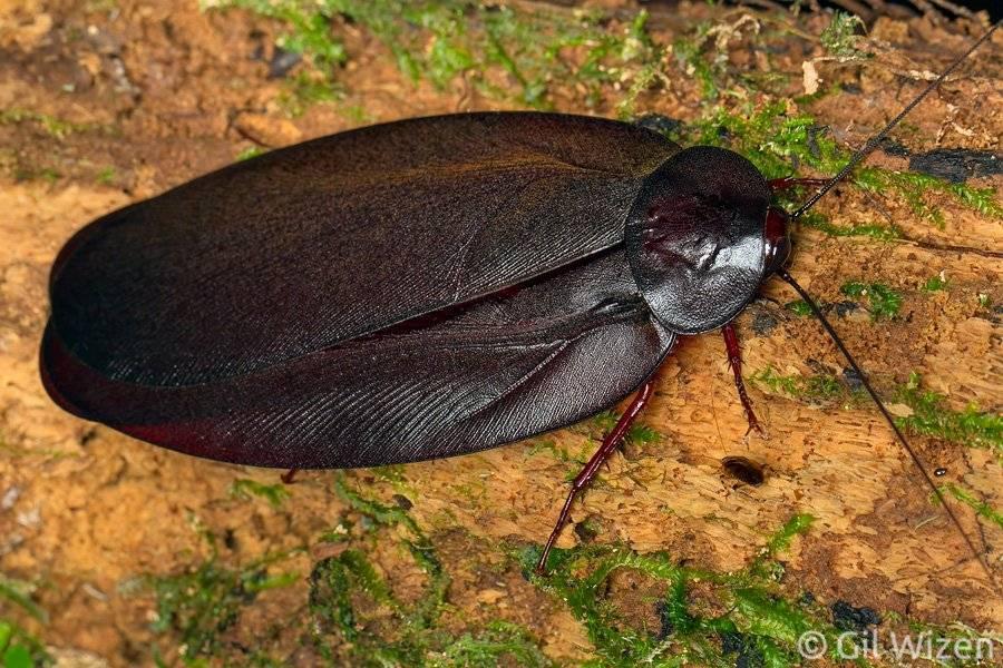 Таракан Megaloblatta blaberoides фото