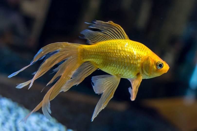 Хвост золотой рыбки фото (порода – веерохвост)