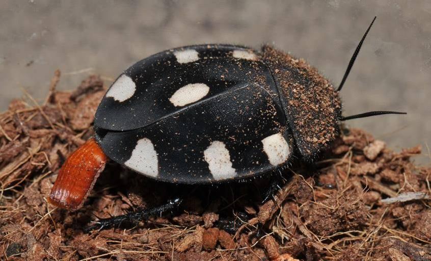 Шахматный таракан фото (лат. Therea petiveriana)