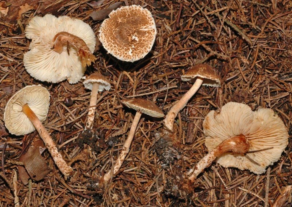 Ядовитый гриб зонтик каштановый фото