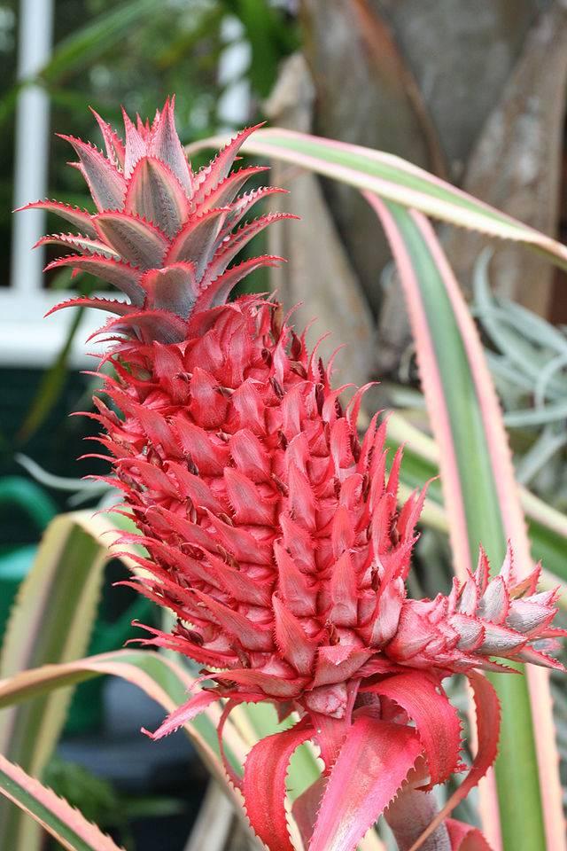 Ananas bracteatus tricolor фото