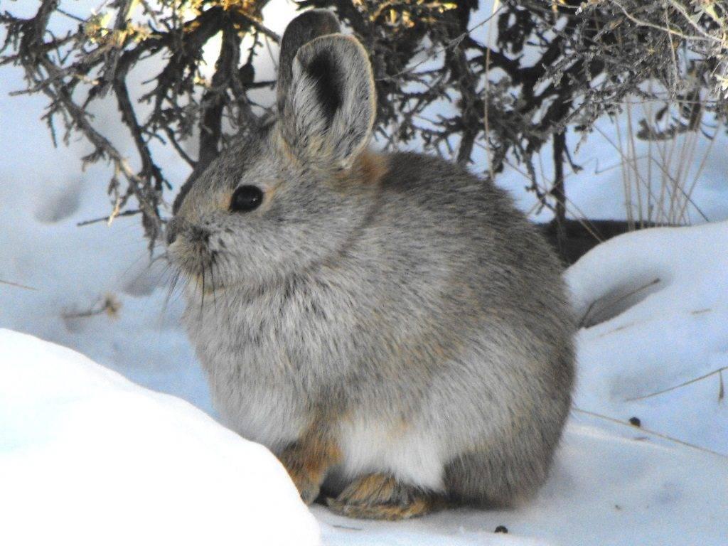 Айдахский кролик (кролик-пигмей) фото (лат. Brachylagus idahoensis)