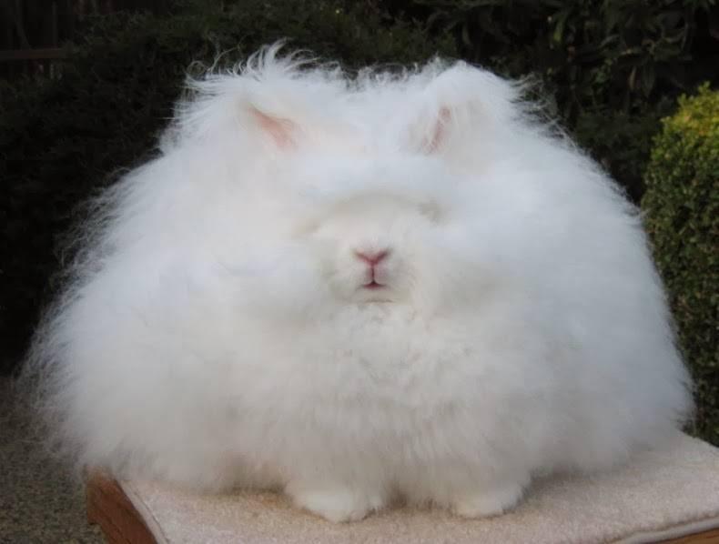 Ангорский пуховый кролик фото