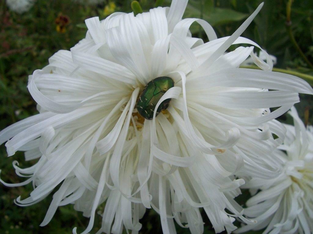 Астры сорта «Страусово Перо белая» фото цветов