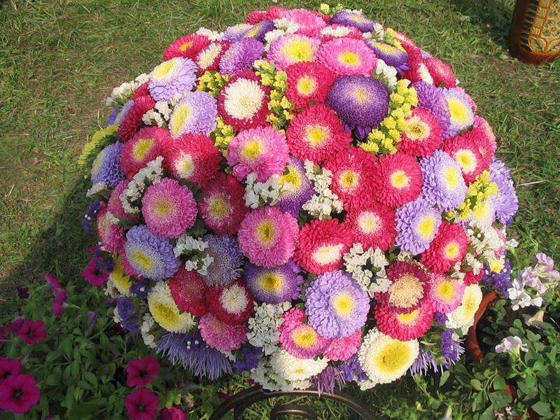 Астры фото цветов