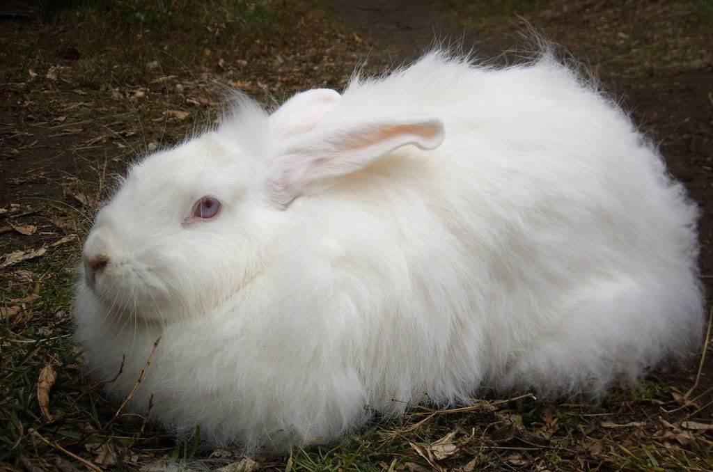 Белый пуховый кролик фото породы