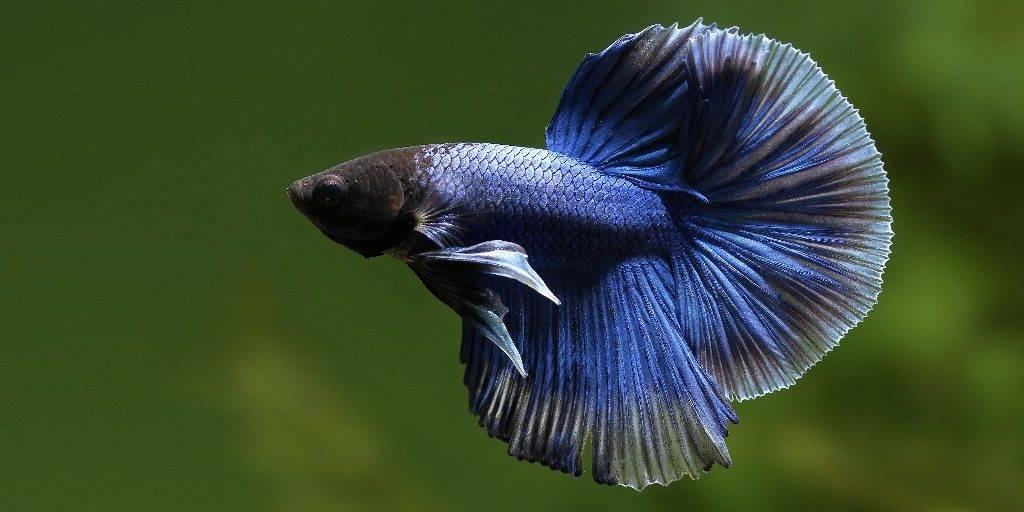 Бойцовая рыбка (сиамский петушок) фото