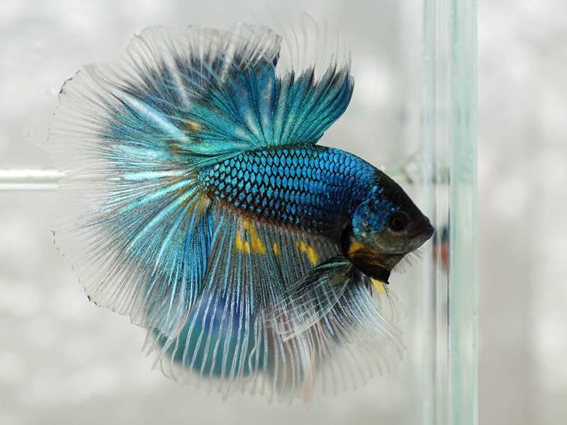 Бойцовая рыбка с окрасом бабочка фото