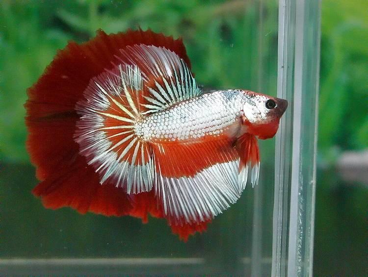 Бойцовая рыбка с окрасом дракон фото