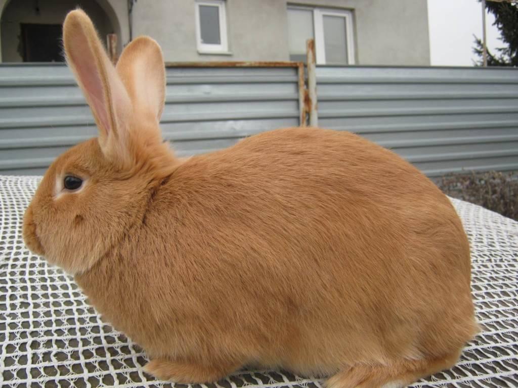 Бургундский кролик фото (французская порода)