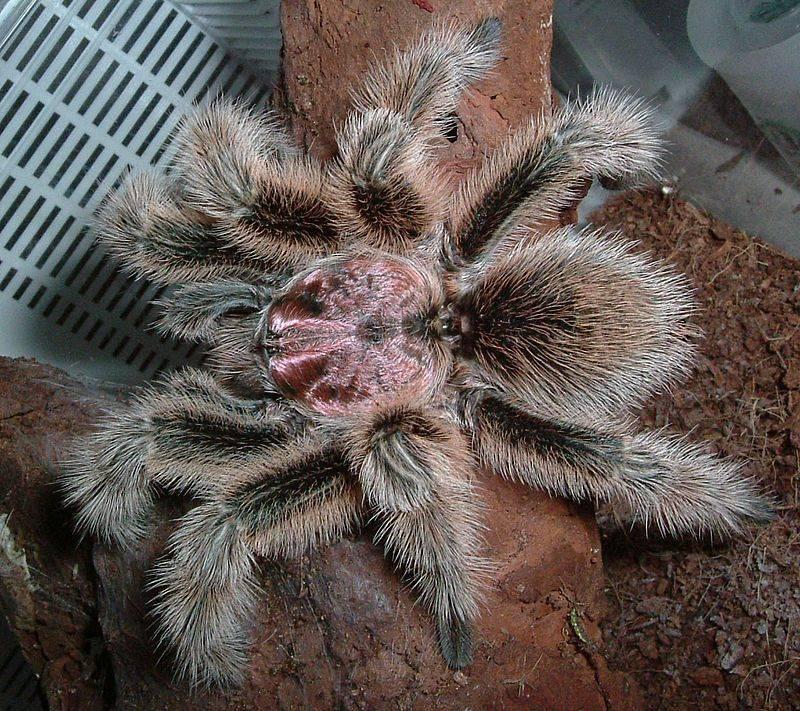 Взрослый самец розового паука-птицееда фото